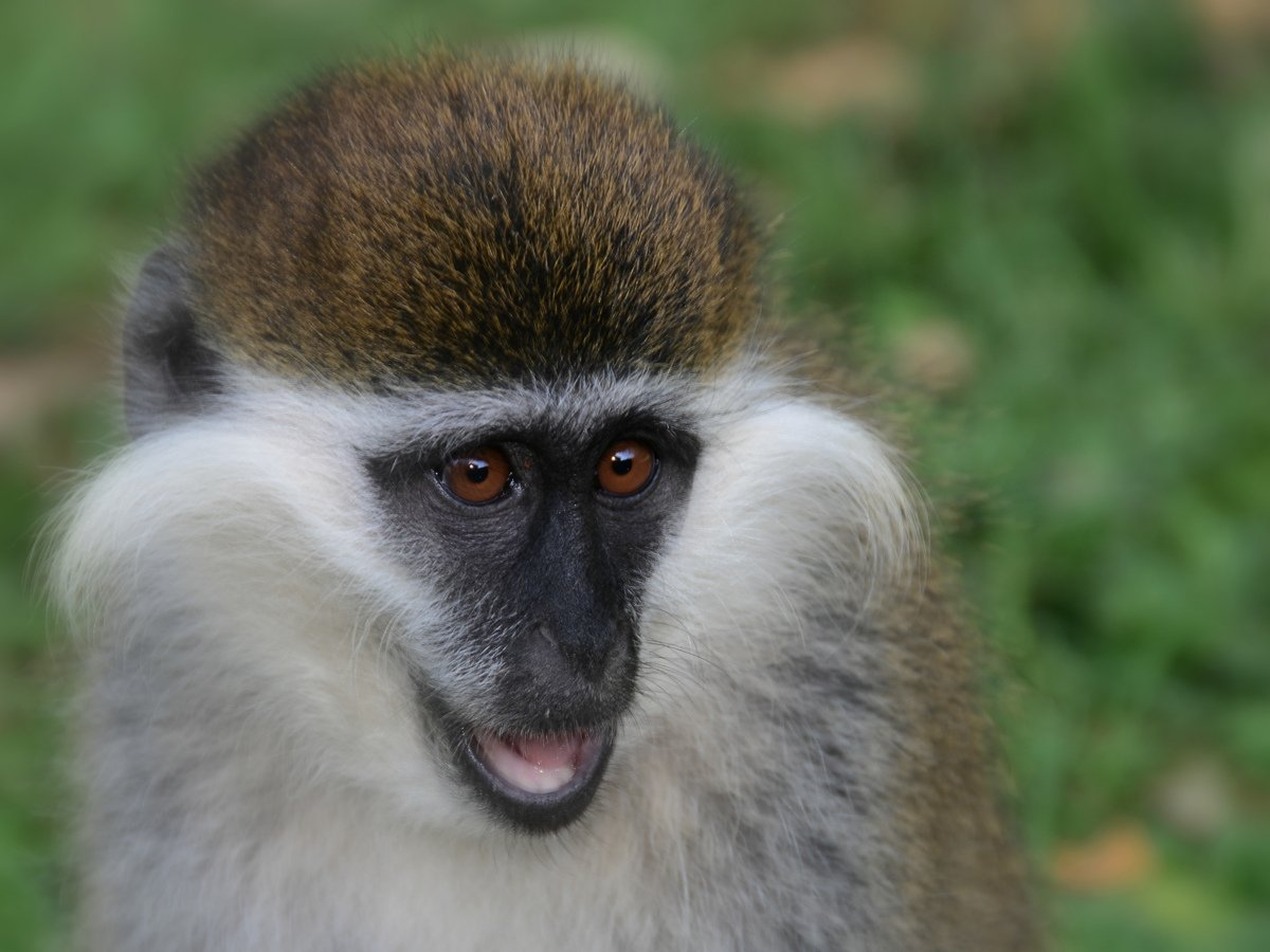 picture description: Grivet, African Green Savannah monkey, wildlife and safari with ZenAye Ethiopia Tours, Swiss-African expert in tour operation / photo: Linetta Schneller