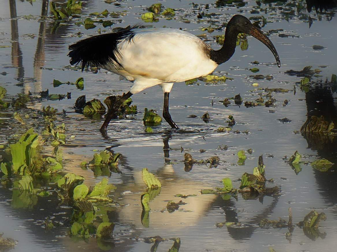 picture description: Sacred Ibis, birding, birdwatching, Great Rift Valley Lakes with ZenAye Ethiopia Tours, Swiss-African expert in tour operation / photo: Linetta Schneller