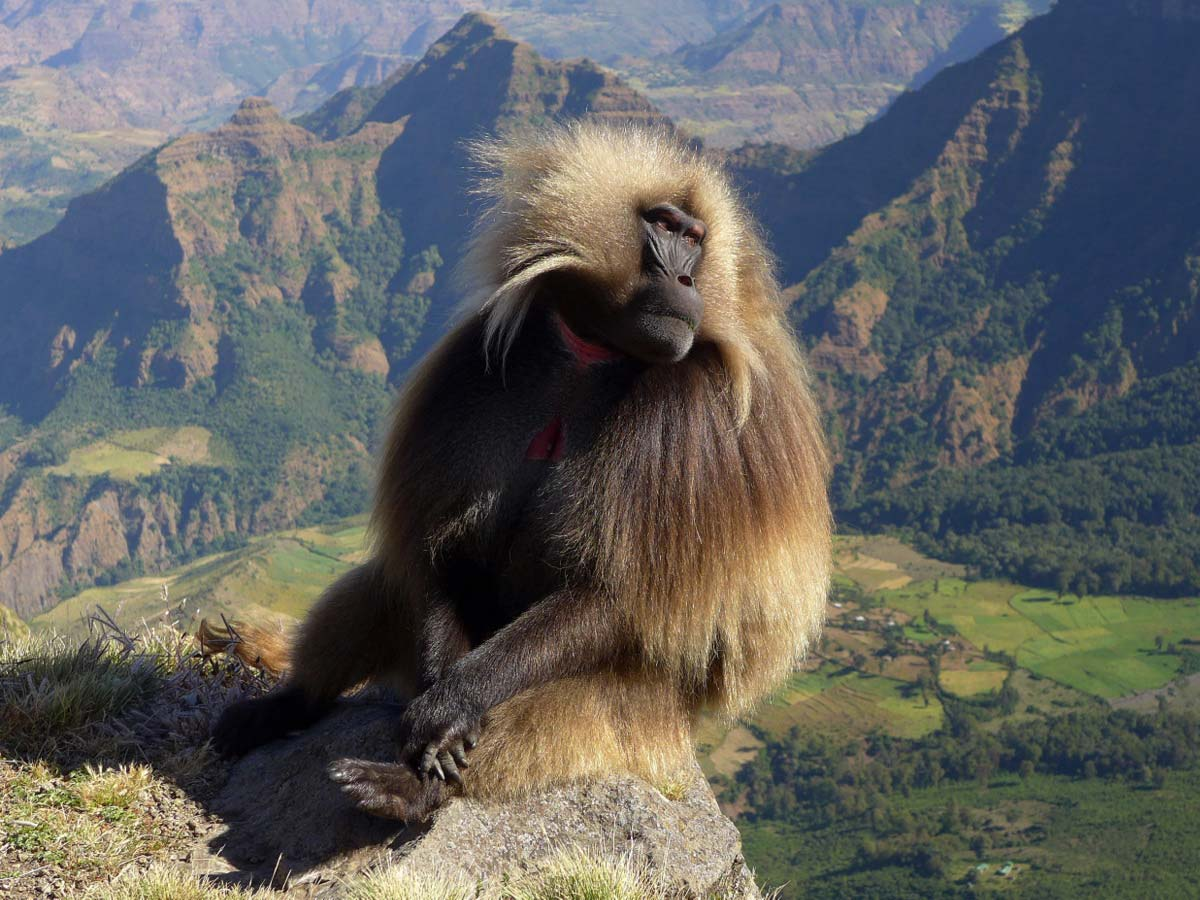 picture description: Gelada Baboon, trekking Simien Mountains National Park Ethiopia with ZenAye Ethiopia Tours, Swiss-African expert in tour operation / photo: Linetta Schneller
