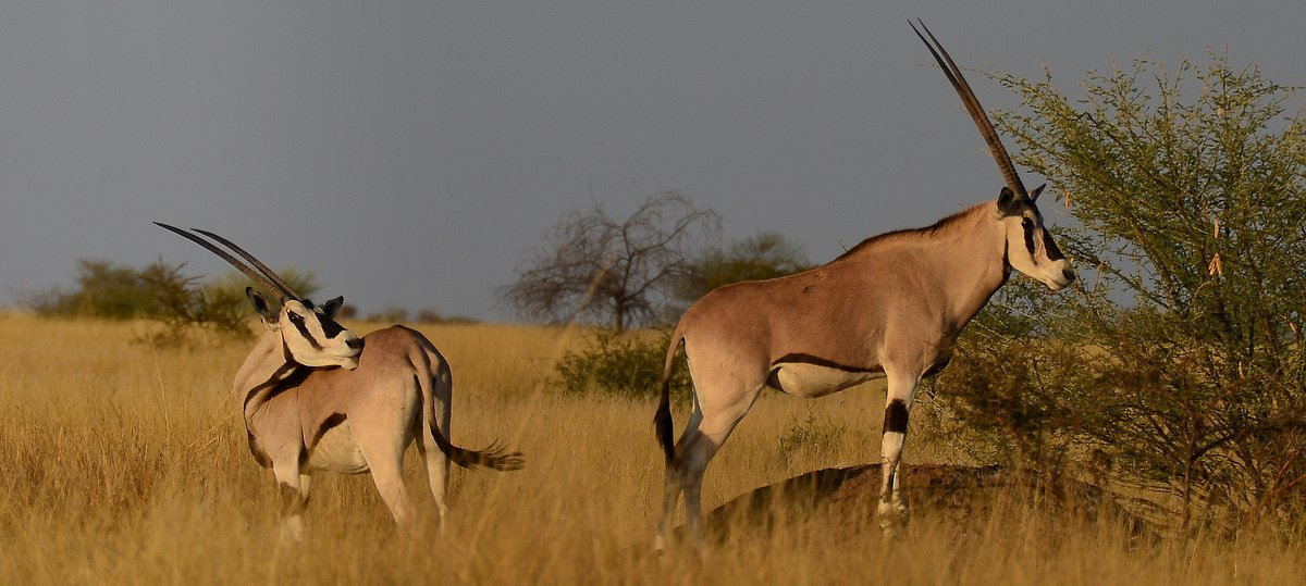 picture description: Africa, Ethiopia, Beisa Oryx, Awash National Park, wildlife and safari with ZenAye Ethiopia Tours, expert in tour operation / photo: © Linetta Schneller, Switzerland