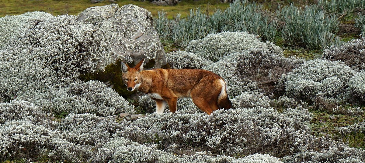 picture description: Africa, Ethiopia, Ethiopian Wolf, Sanetti Plateau, Bale Mountains, nature and wildlife with ZenAye Ethiopia Tours, expert in tour operation / photo: © Linetta Schneller, Switzerland