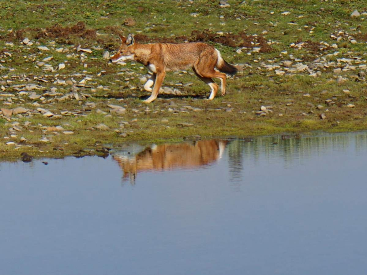picture description: Ethiopian Wolf, Abyssinian or Semien Fox, Sanetti Plateau, trekking, Bale Mountains with ZenAye Ethiopia Tours, Swiss-African expert in tour operation / photo: Linetta Schneller