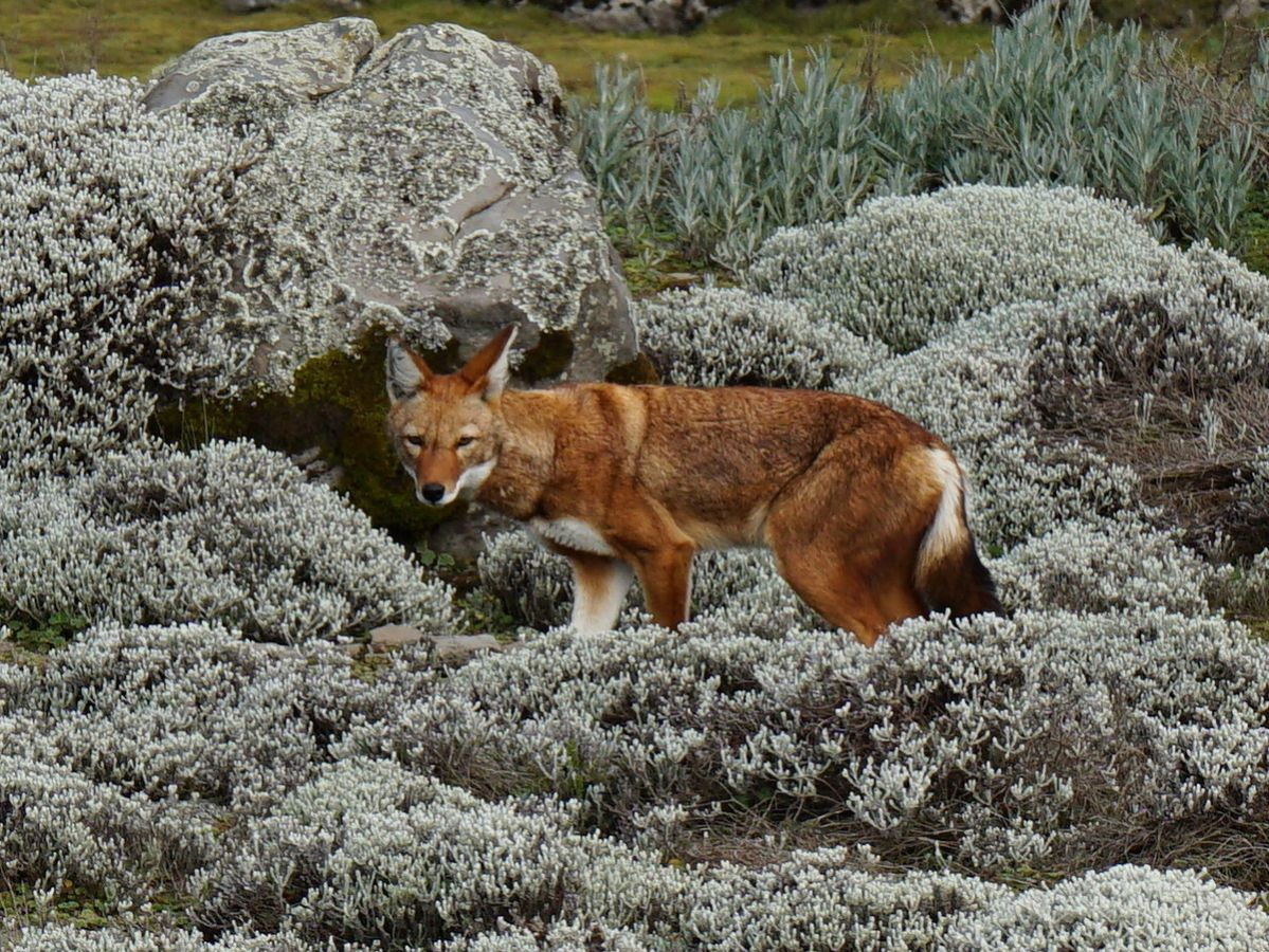 picture description: Ethiopian Wolf, Abyssinian or Semien Fox, Sanetti Plateau, trekking in Bale Mountains with ZenAye Ethiopia Tours, Swiss-African expert in tour operation / photo: Linetta Schneller